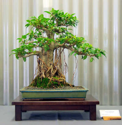 1st_-_tree_09_-_ficus_rubiginosa_port_jackson_fig_.jpg